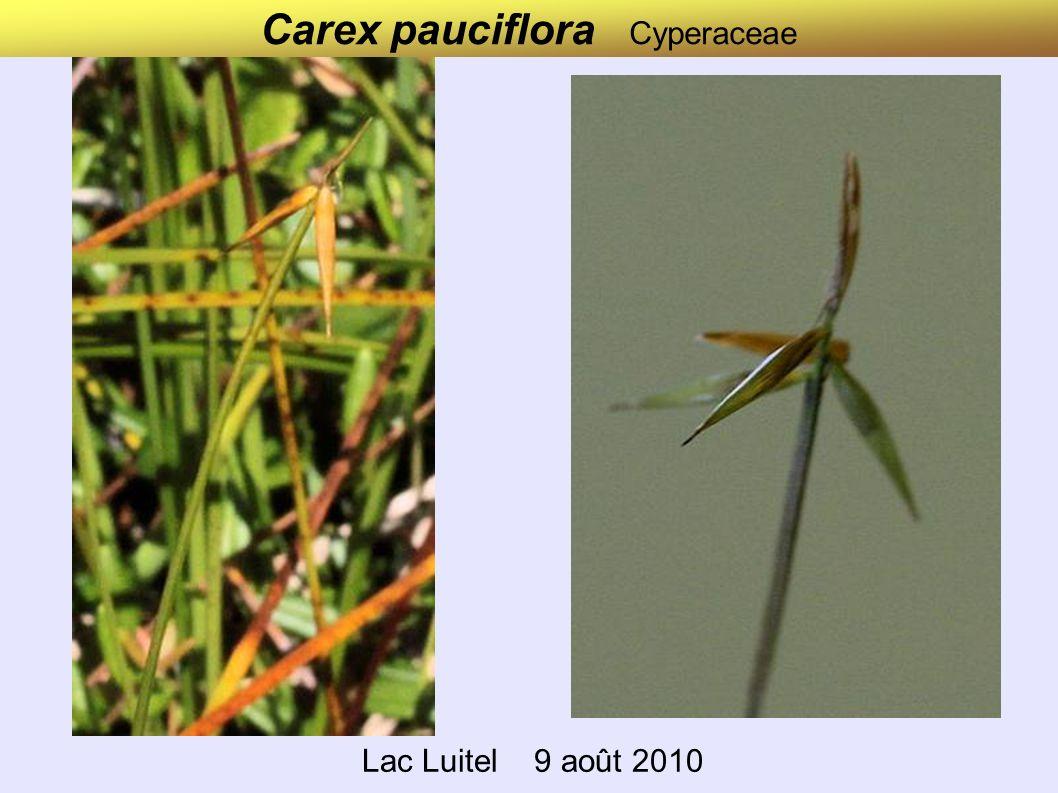 Carex pauciflora Cyperaceae Lac Luitel 9 août 2010