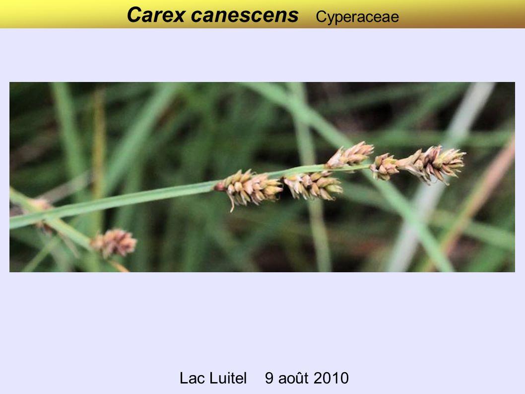 Carex canescens Cyperaceae Lac Luitel 9 août 2010
