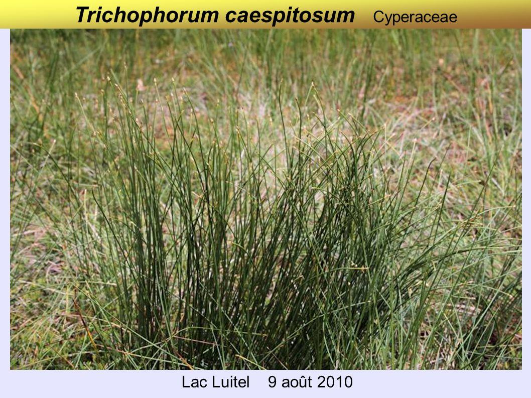 Trichophorum caespitosum Cyperaceae Lac Luitel 9 août 2010