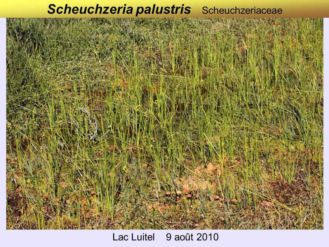 Scheuchzeria palustris Scheuchzeriaceae Lac Luitel 9 août 2010