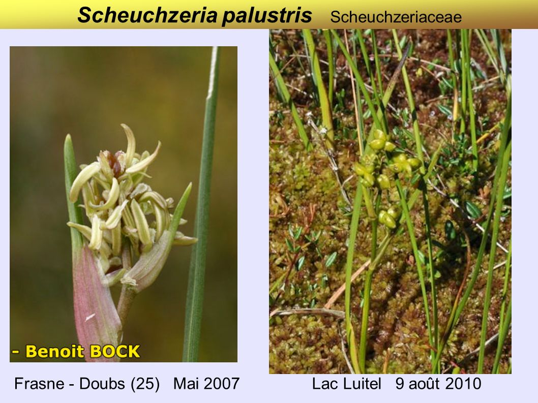 Scheuchzeria palustris Scheuchzeriaceae Frasne - Doubs (25) Mai 2007 Lac Luitel 9 août 2010