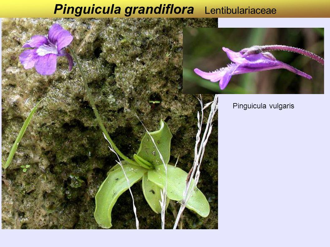 Pinguicula grandiflora Lentibulariaceae Pinguicula vulgaris