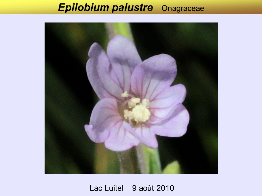 Epilobium palustre Onagraceae Lac Luitel 9 août 2010