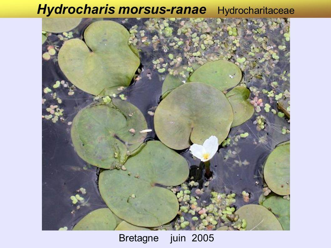 Hydrocharis morsus-ranae Hydrocharitaceae Bretagne juin 2005