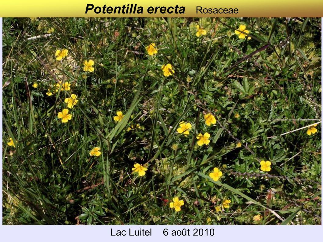 Potentilla erecta Rosaceae Lac Luitel 6 août 2010