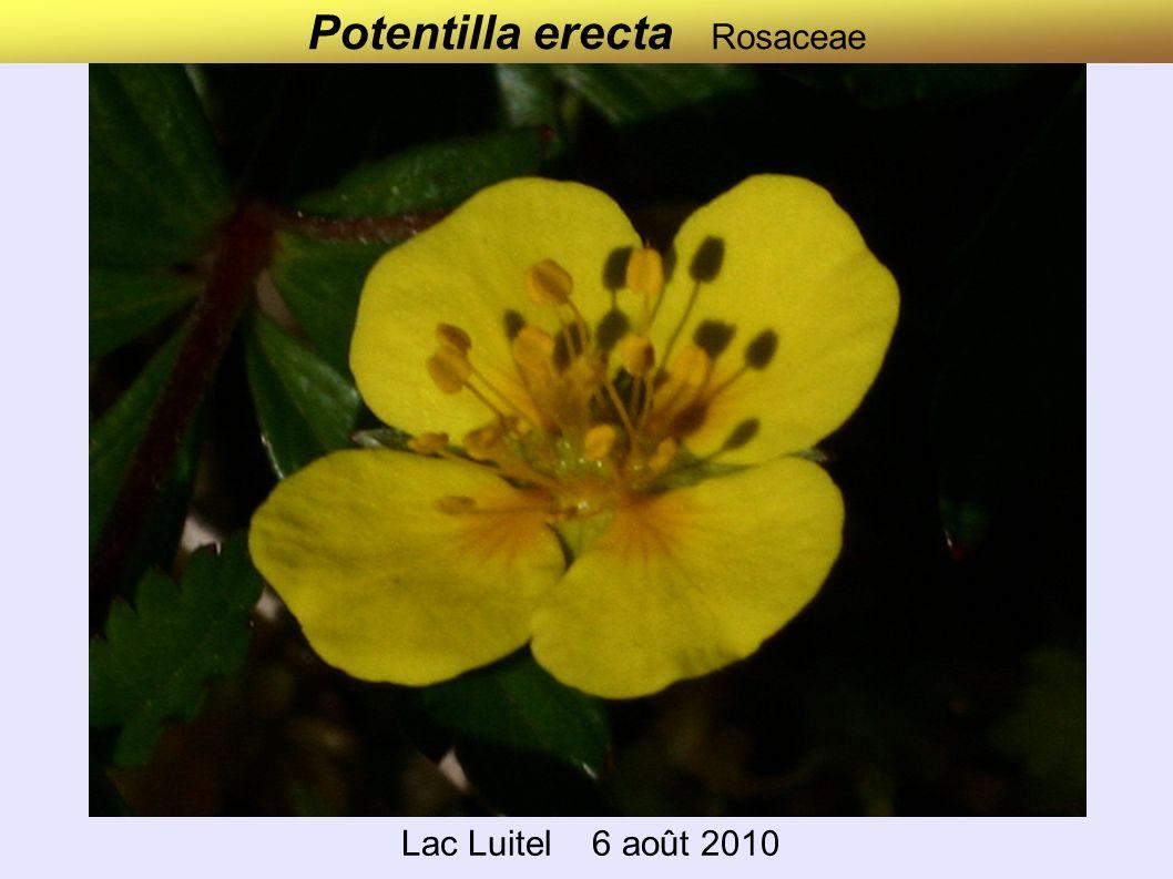Lac Luitel 6 août 2010 Potentilla erecta Rosaceae