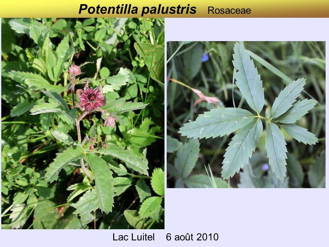 Potentilla palustris Rosaceae Lac Luitel 6 août 2010