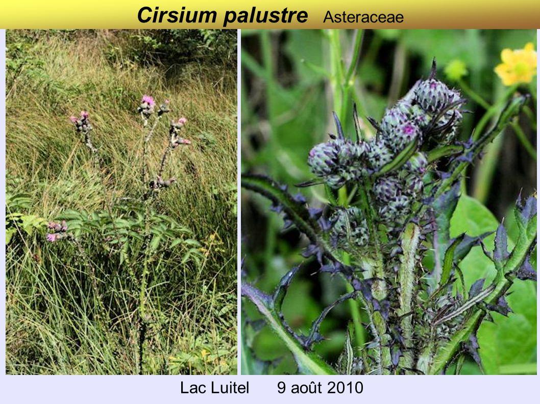 Cirsium palustre Asteraceae Lac Luitel 9 août 2010
