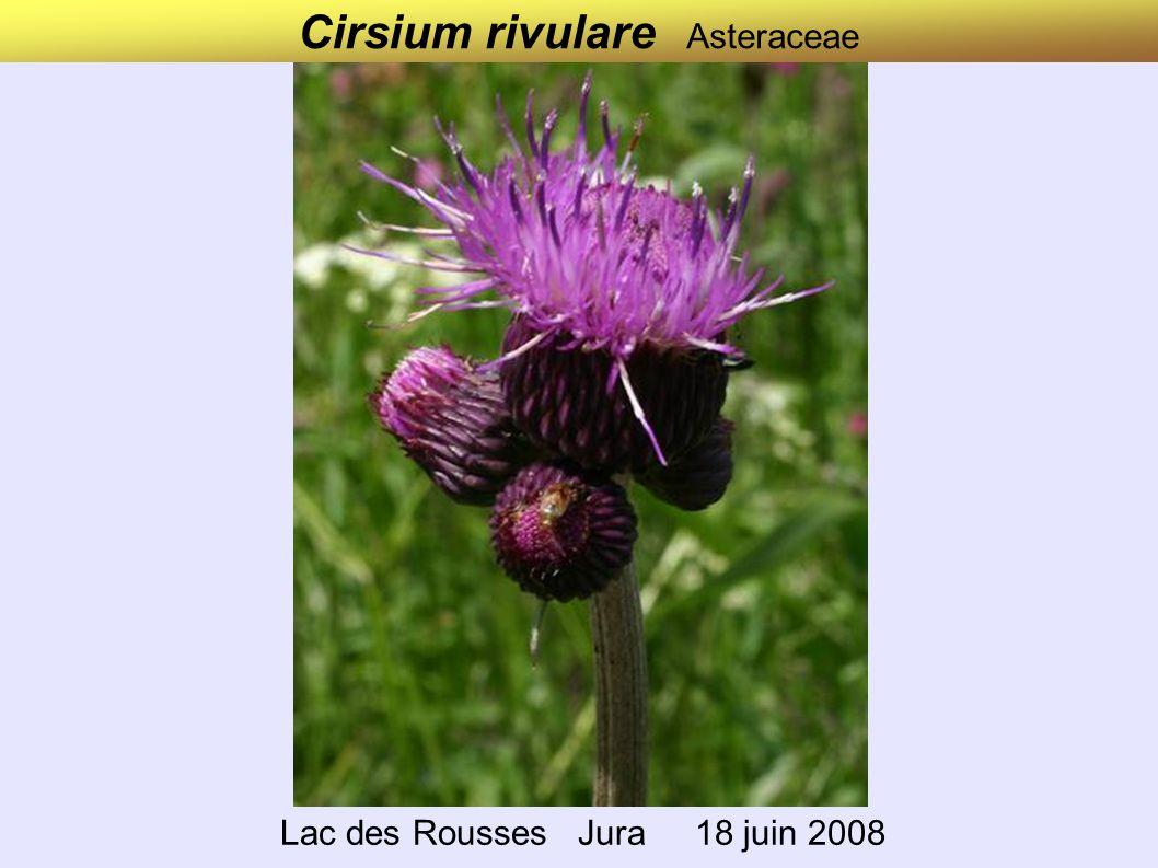 Cirsium rivulare Asteraceae Lac des Rousses Jura 18 juin 2008
