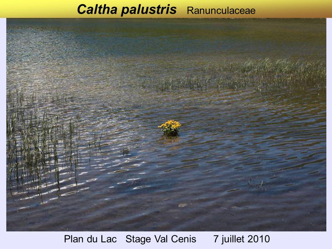 Caltha palustris Ranunculaceae Plan du Lac Stage Val Cenis 7 juillet 2010