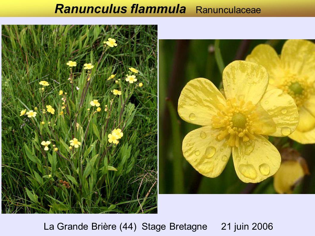 Ranunculus flammula Ranunculaceae La Grande Brière (44) Stage Bretagne 21 juin 2006