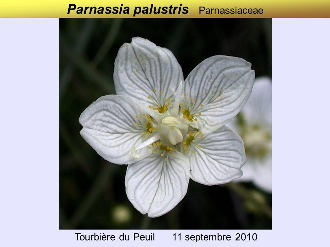 Parnassia palustris Parnassiaceae Tourbière du Peuil 11 septembre 2010