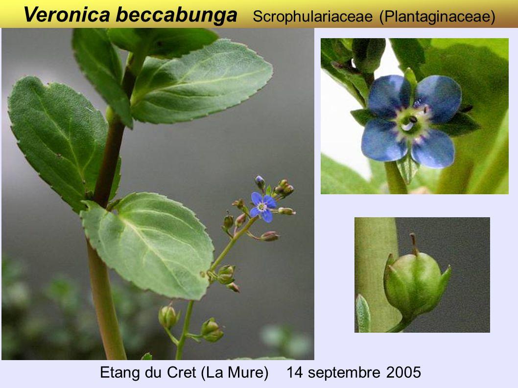 Veronica beccabunga Scrophulariaceae (Plantaginaceae) Etang du Cret (La Mure) 14 septembre 2005