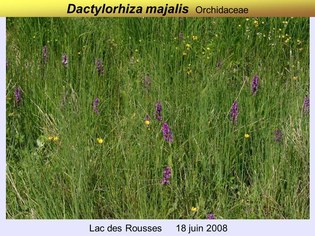 Dactylorhiza majalis Orchidaceae Lac des Rousses 18 juin 2008