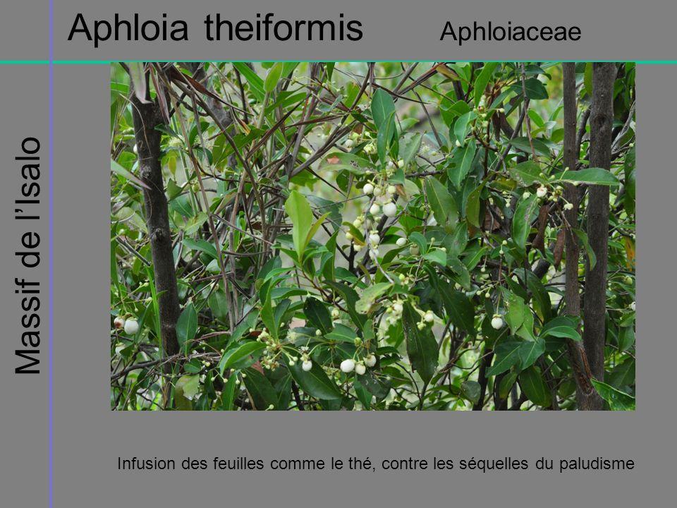 Massif de lIsalo Aphloia theiformis Aphloiaceae Infusion des feuilles comme le thé, contre les séquelles du paludisme