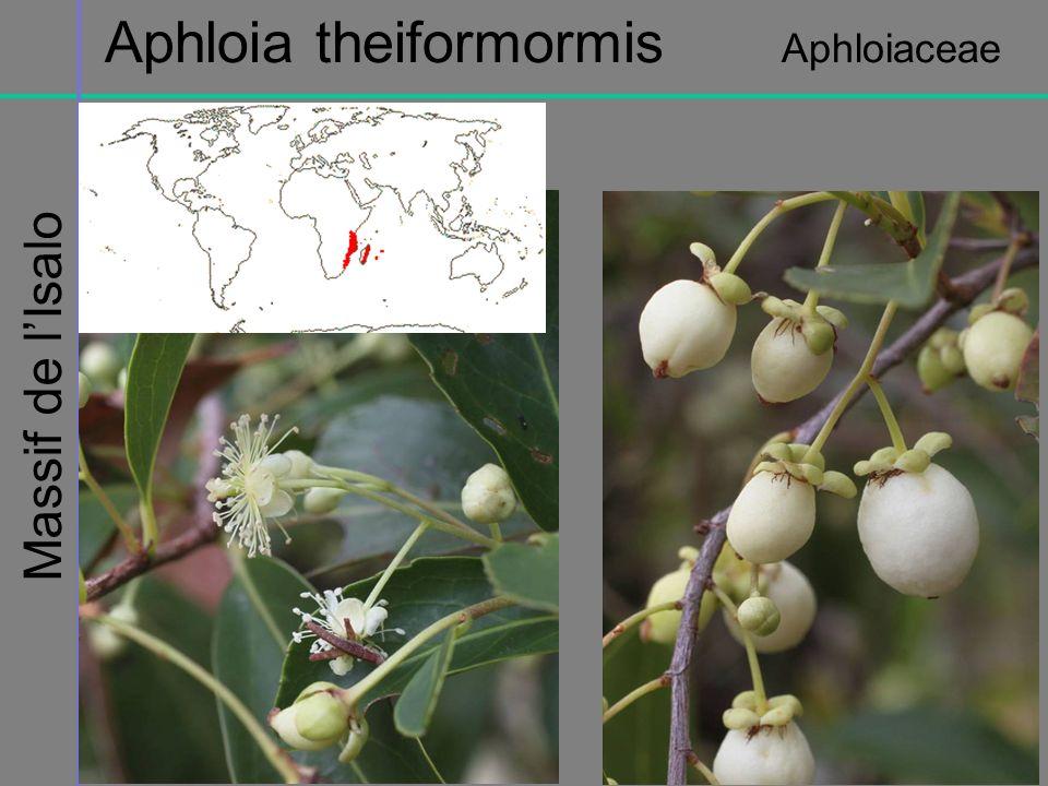 Massif de lIsalo Aphloia theiformormis Aphloiaceae