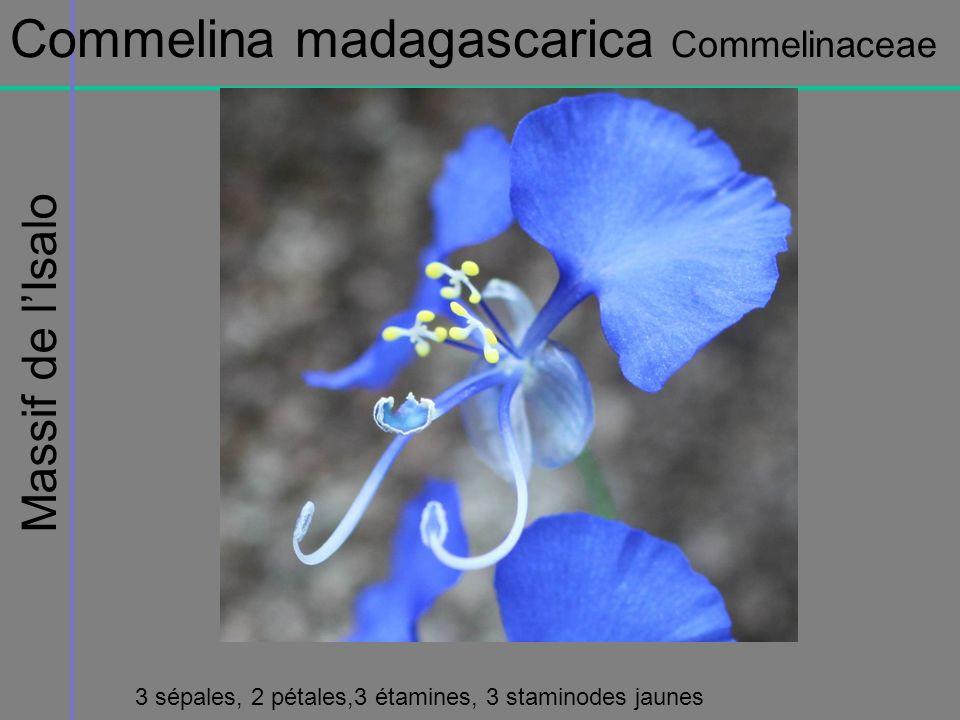 Massif de lIsalo Commelina madagascarica Commelinaceae 3 sépales, 2 pétales,3 étamines, 3 staminodes jaunes