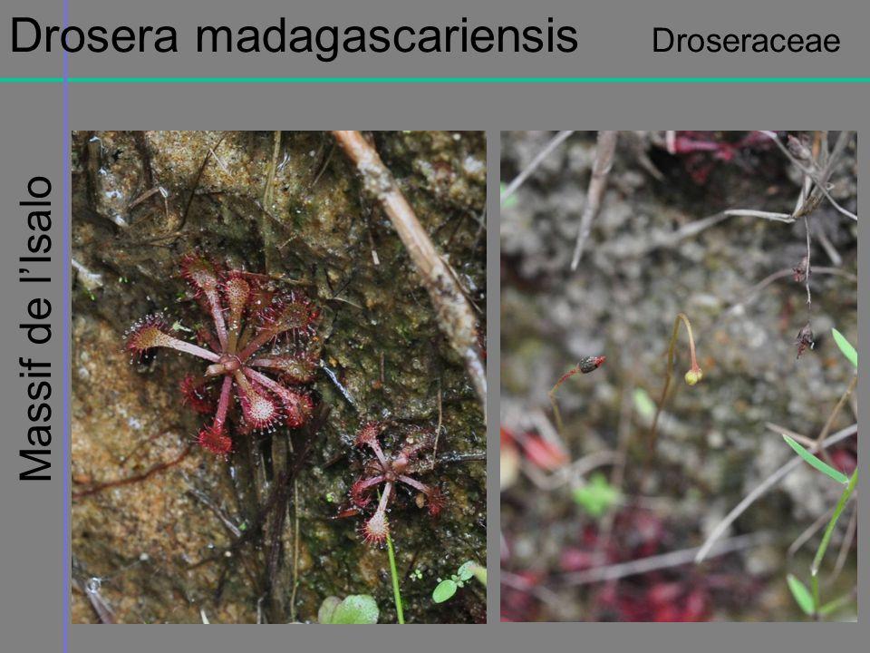Massif de lIsalo Drosera madagascariensis Droseraceae
