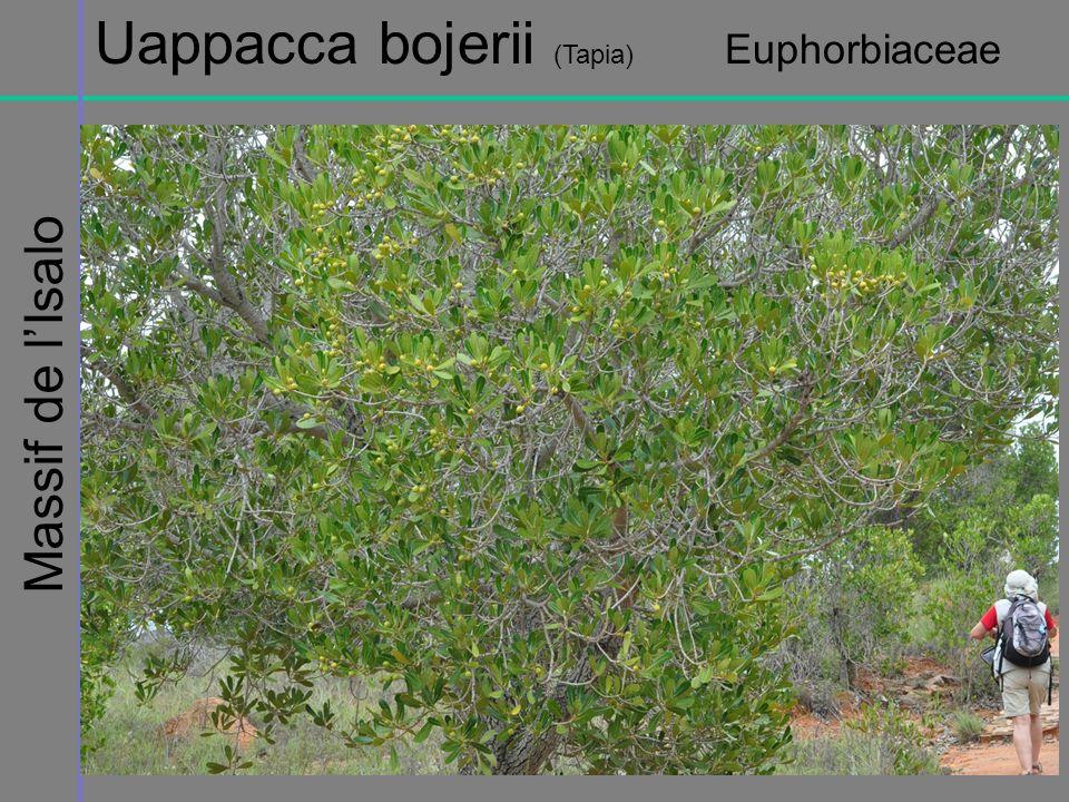 Massif de lIsalo Uappacca bojerii (Tapia) Euphorbiaceae
