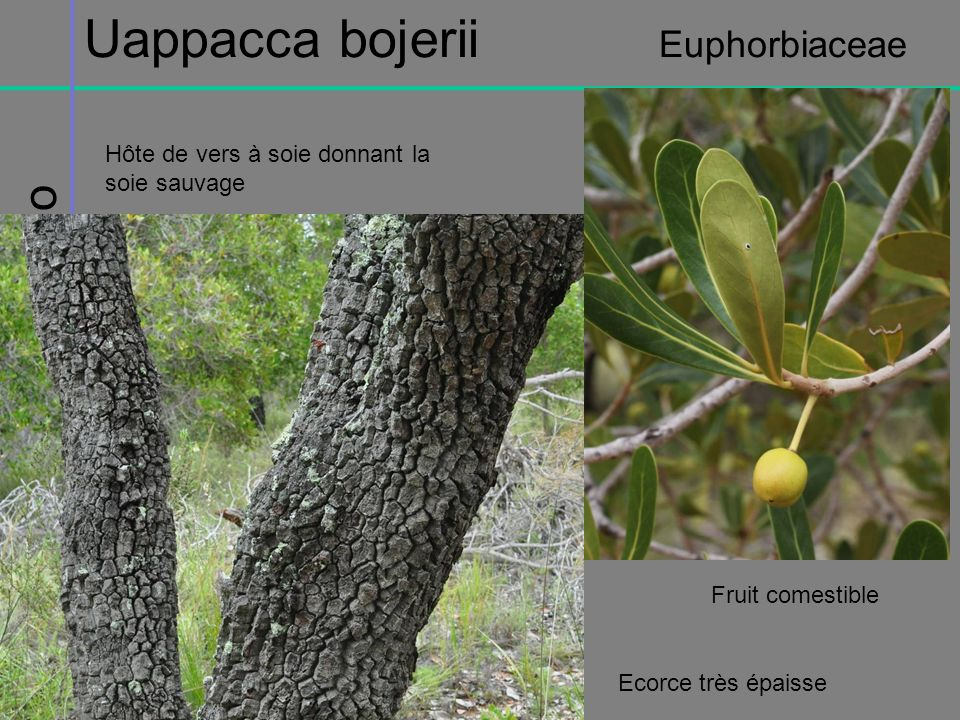 Massif de lIsalo Uappacca bojerii Euphorbiaceae Fruit comestible Ecorce très épaisse Hôte de vers à soie donnant la soie sauvage