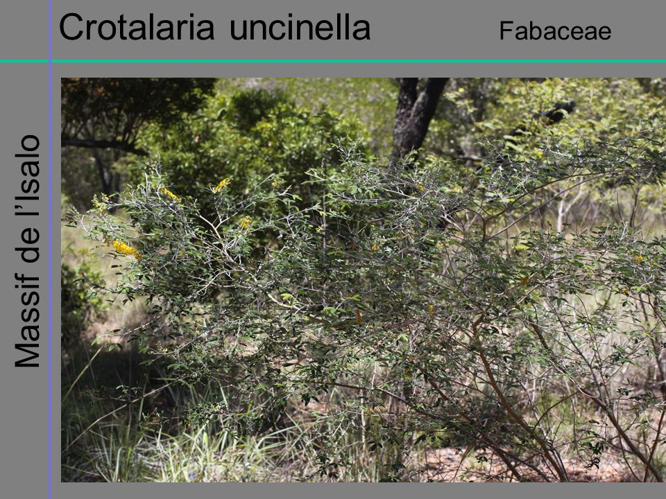Massif de lIsalo Crotalaria uncinella Fabaceae