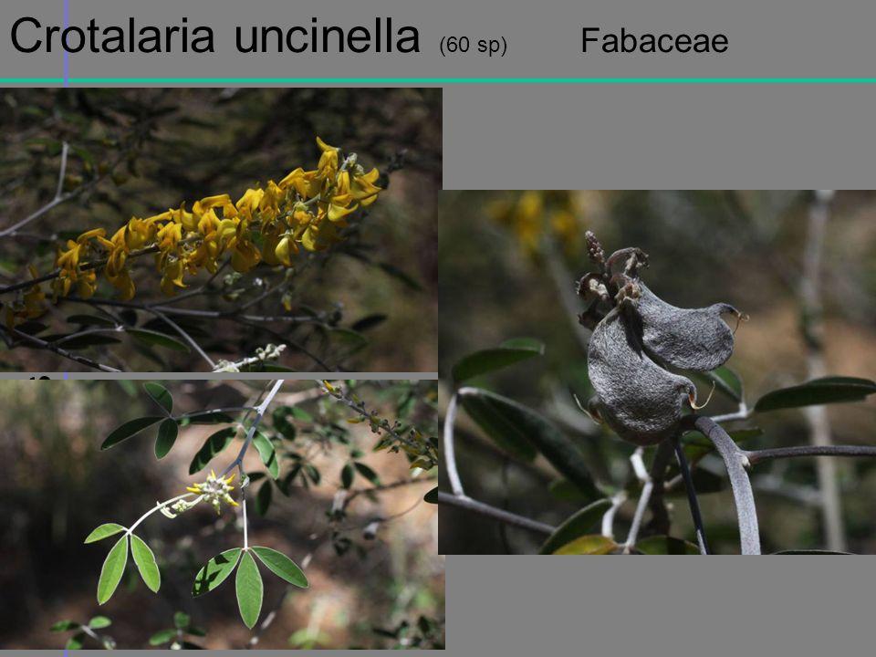 Massif de lIsalo Crotalaria uncinella (60 sp) Fabaceae