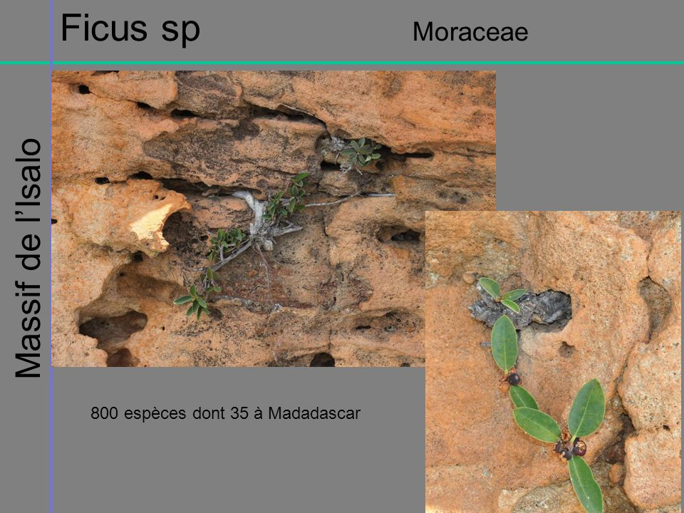 Massif de lIsalo Ficus sp Moraceae 800 espèces dont 35 à Madadascar