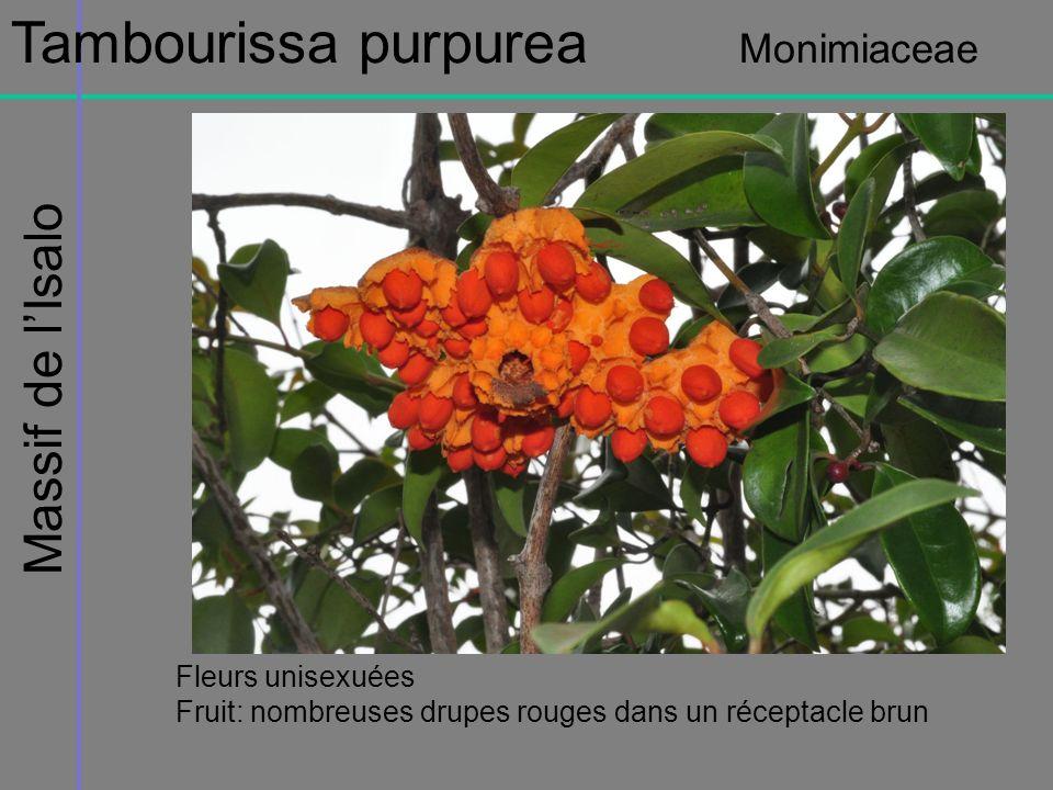 Massif de lIsalo Tambourissa purpurea Monimiaceae Fleurs unisexuées Fruit: nombreuses drupes rouges dans un réceptacle brun