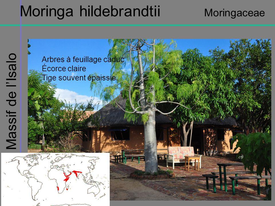 Massif de lIsalo Moringa hildebrandtii Moringaceae Arbres à feuillage caduc Écorce claire Tige souvent épaissie