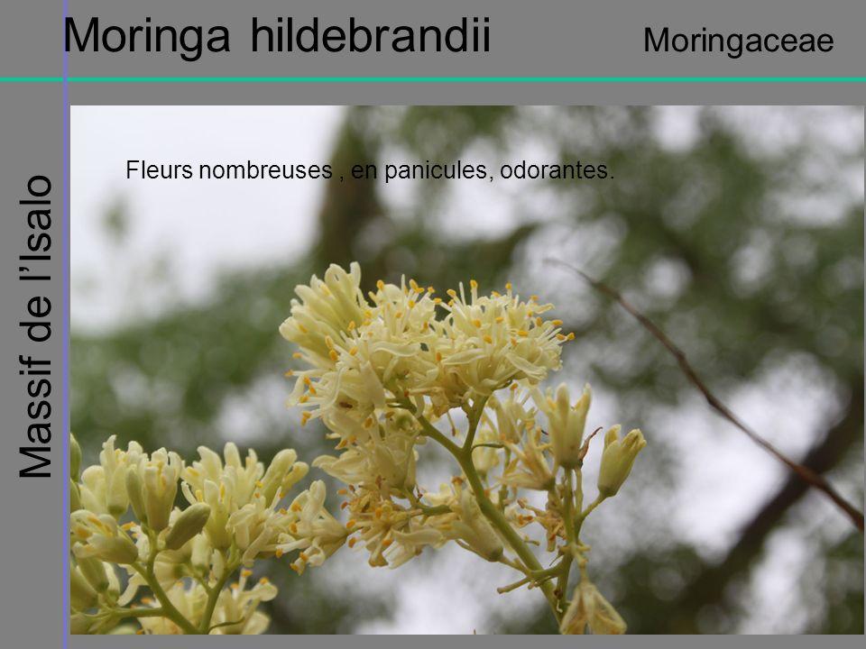 Massif de lIsalo Moringa hildebrandii Moringaceae Fleurs nombreuses, en panicules, odorantes.