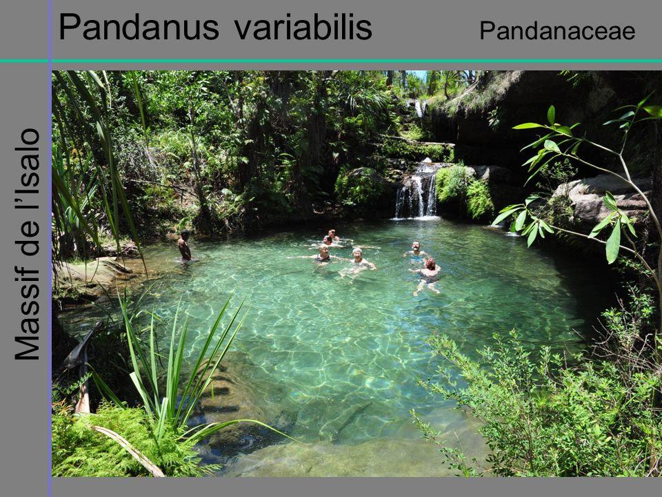 Massif de lIsalo Pandanus variabilis Pandanaceae