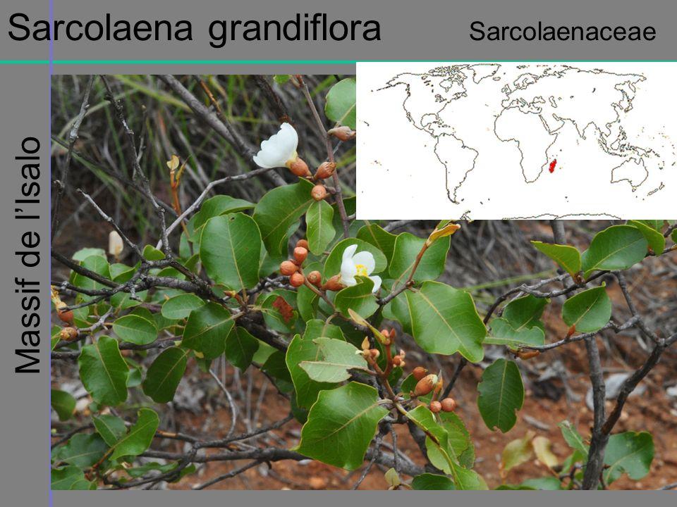 Massif de lIsalo Sarcolaena grandiflora Sarcolaenaceae
