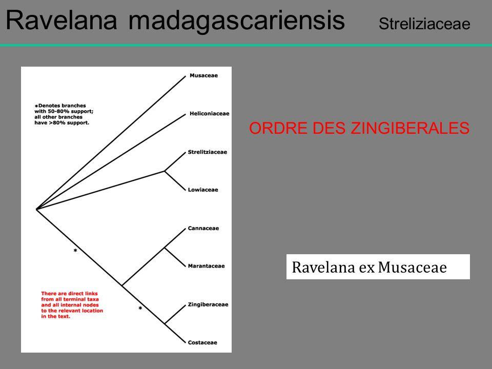 Ravelana madagascariensis Streliziaceae ORDRE DES ZINGIBERALES Ravelana ex Musaceae