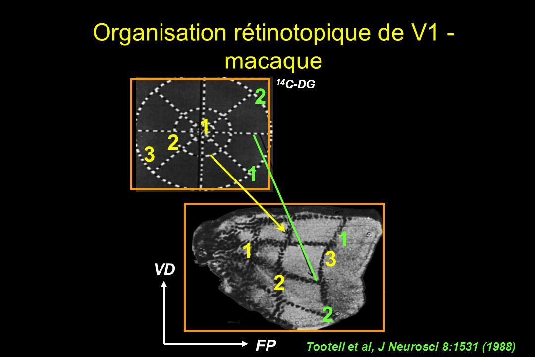 Tootell et al, J Neurosci 8:1531 (1988) 14 C-DG FP VD 1 2 3 1 2 3 1 2 1 2 Organisation rétinotopique de V1 - macaque