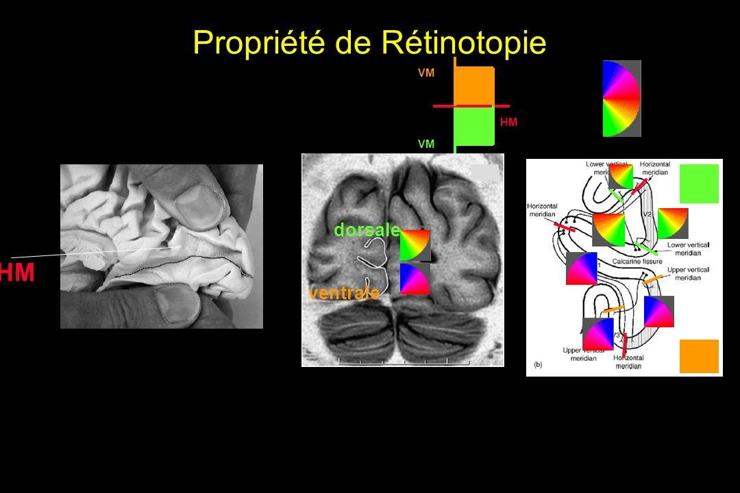 Propriété de Rétinotopie HM VM dorsale ventrale HM