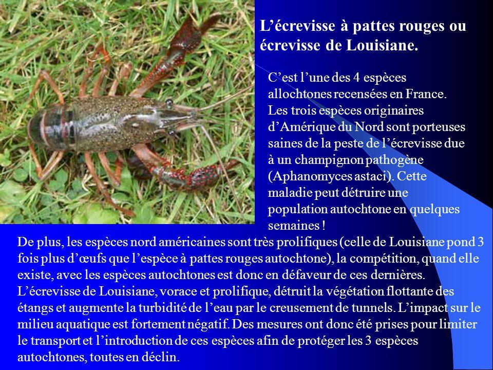 Lécrevisse à pattes rouges ou écrevisse de Louisiane. Cest lune des 4 espèces allochtones recensées en France. Les trois espèces originaires dAmérique