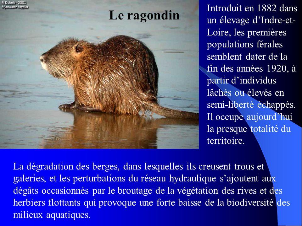 Le ragondin Introduit en 1882 dans un élevage dIndre-et- Loire, les premières populations férales semblent dater de la fin des années 1920, à partir d