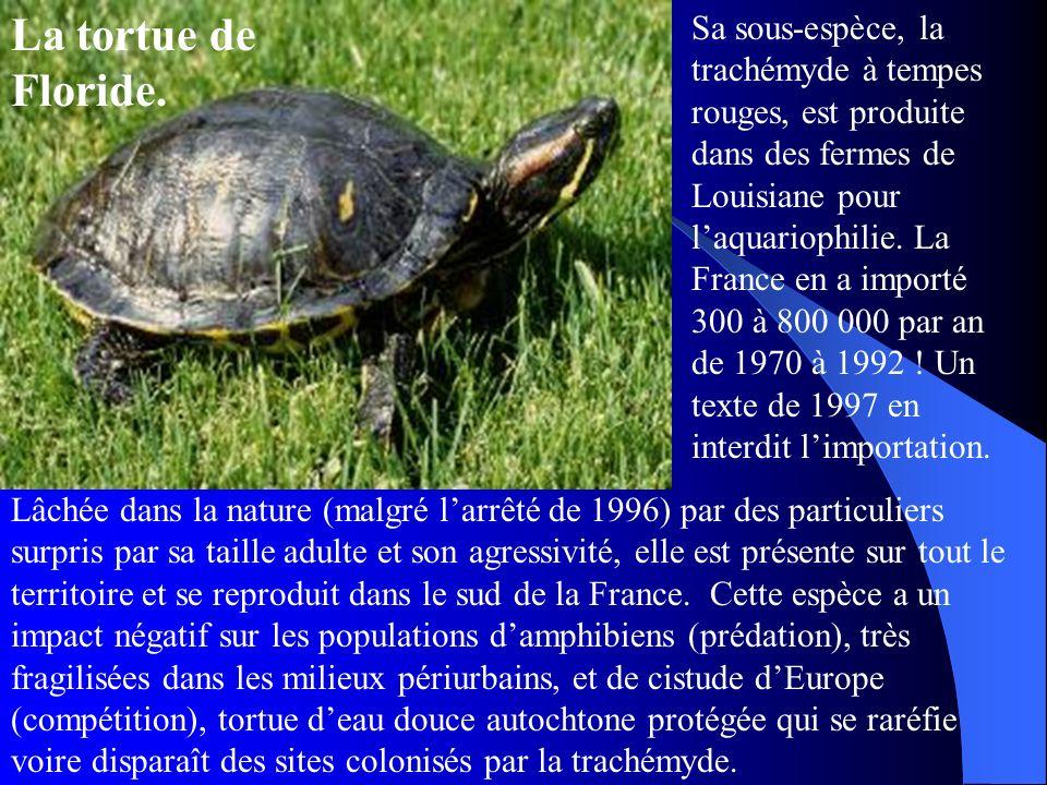 La tortue de Floride. Sa sous-espèce, la trachémyde à tempes rouges, est produite dans des fermes de Louisiane pour laquariophilie. La France en a imp