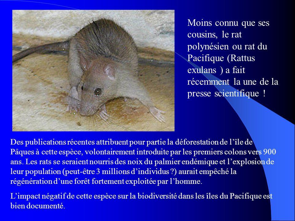 Moins connu que ses cousins, le rat polynésien ou rat du Pacifique (Rattus exulans ) a fait récemment la une de la presse scientifique ! Des publicati
