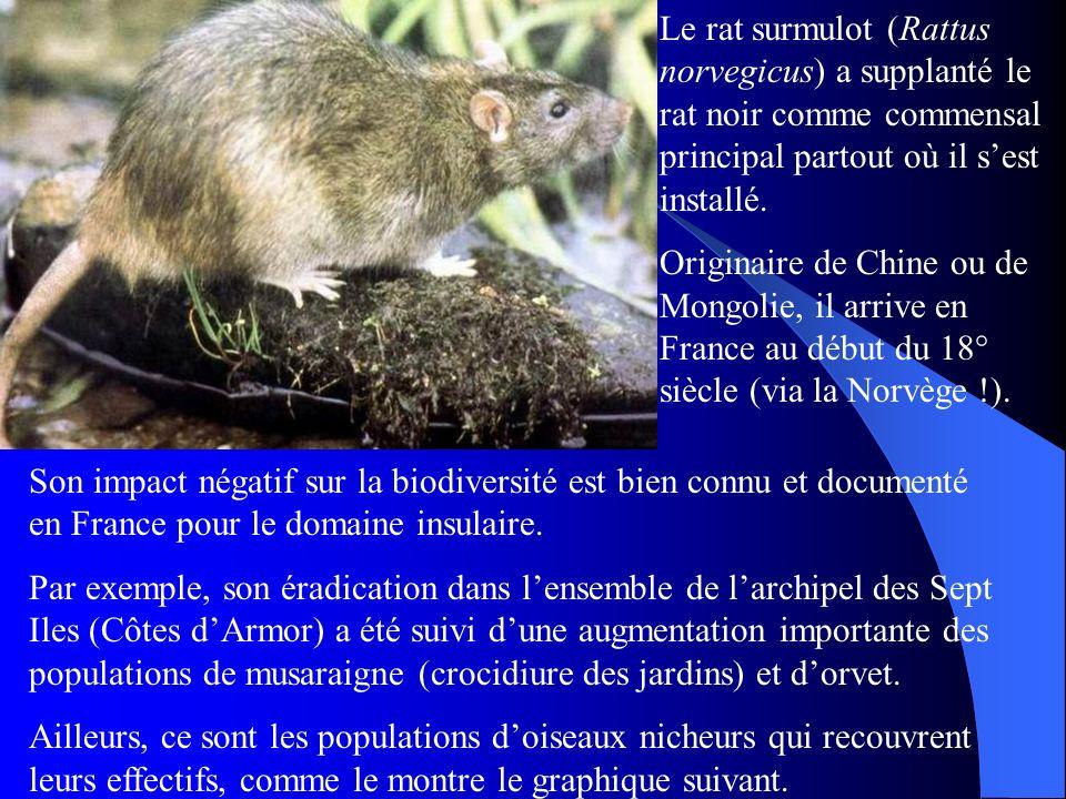 Le rat surmulot (Rattus norvegicus) a supplanté le rat noir comme commensal principal partout où il sest installé. Originaire de Chine ou de Mongolie,