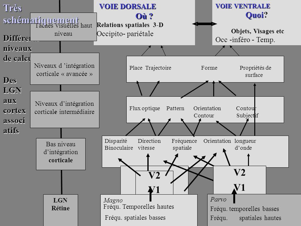 Disparité Direction Fréquence Orientation longueur Binoculaire vitesse spatiale donde V2 V1 Flux optique Pattern Orientation Contour Contour Subjectif Des LGN aux cortex associ atifs V2 V1 Place Trajectoire Forme Propriétés de surface VOIE VENTRALE Quoi Quoi.