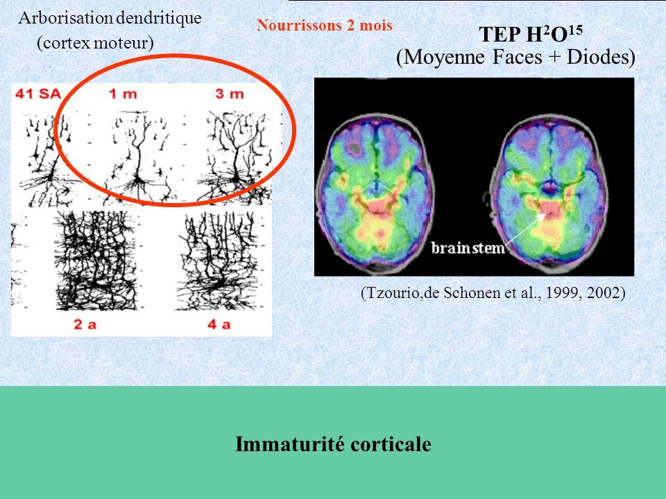 Nourrissons 2 mois (Moyenne Faces + Diodes) Arborisation dendritique (cortex moteur) (Tzourio,de Schonen et al., 1999, 2002) Immaturité corticale TEP H 2 O 15
