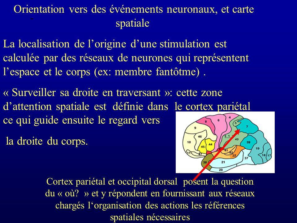 - Orientation vers des événements neuronaux, et carte spatiale La localisation de lorigine dune stimulation est calculée par des réseaux de neurones qui représentent lespace et le corps (ex: membre fantôtme).