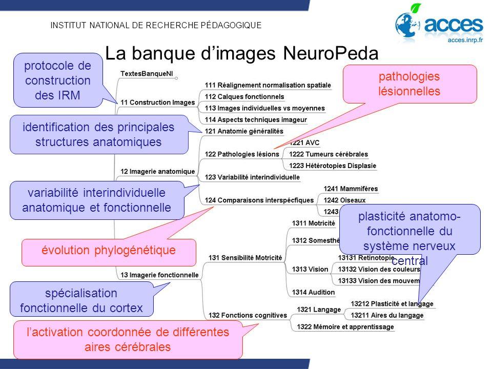 INSTITUT NATIONAL DE RECHERCHE PÉDAGOGIQUE La banque dimages NeuroPeda identification des principales structures anatomiques évolution phylogénétique