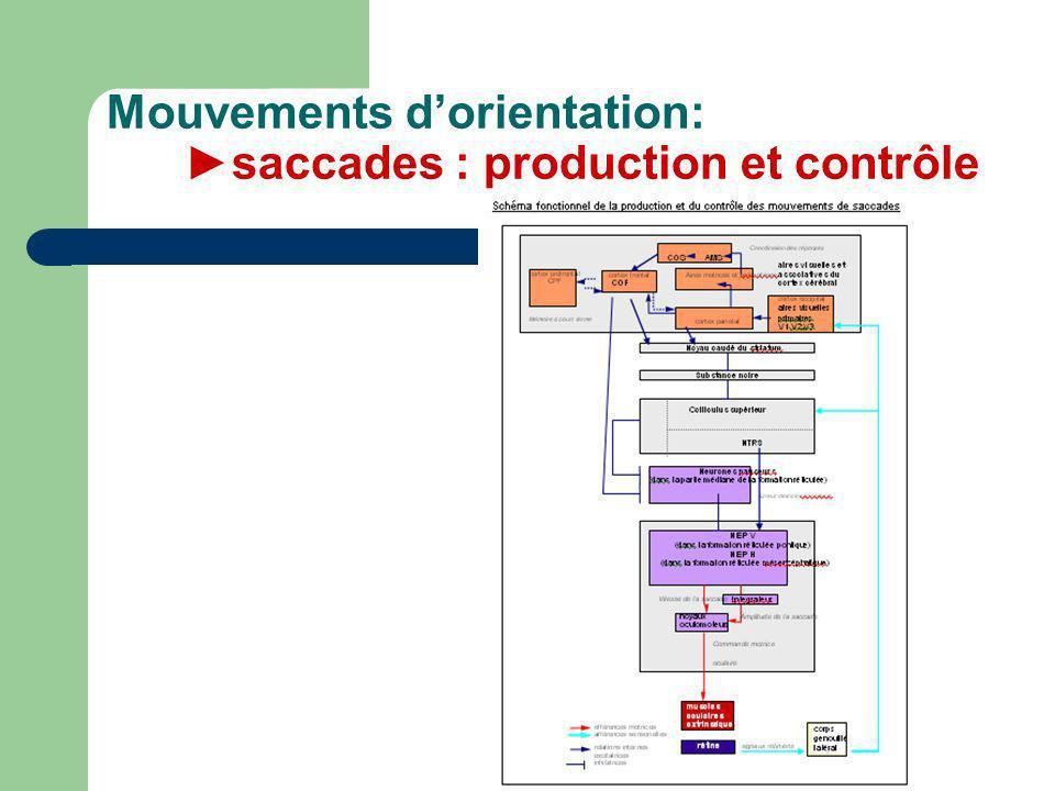 Mouvements dorientation: saccades : production et contrôle