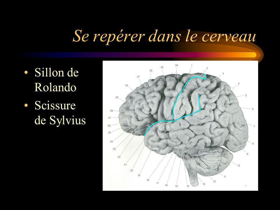 Se repérer dans le cerveau Sillon de Rolando Scissure de Sylvius