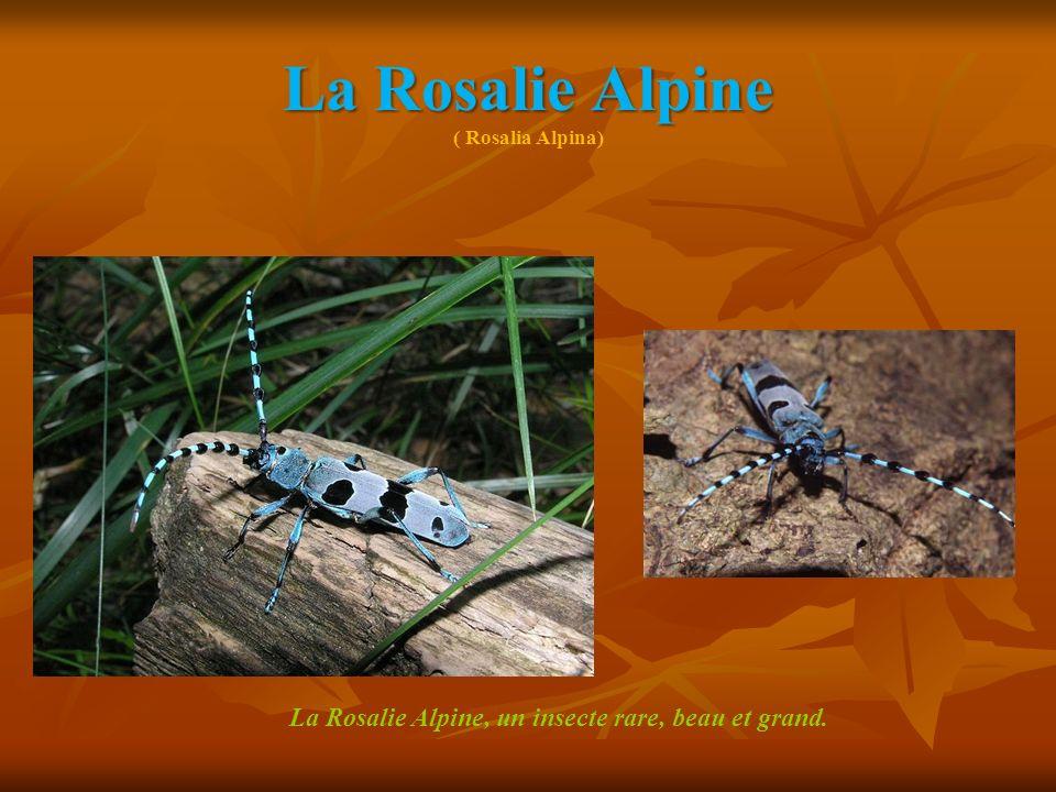 La Rosalie Alpine La Rosalie Alpine ( Rosalia Alpina) La Rosalie Alpine, un insecte rare, beau et grand.