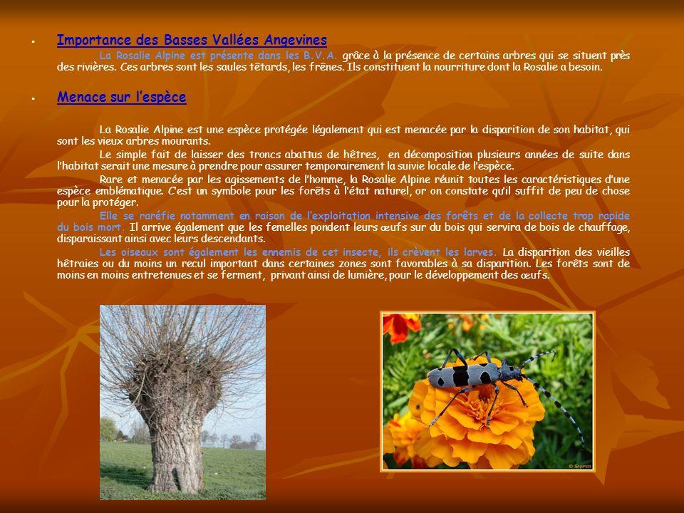 Importance des Basses Vallées Angevines La Rosalie Alpine est présente dans les B.V.A. grâce à la présence de certains arbres qui se situent près des