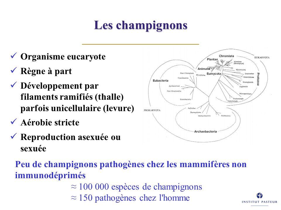 Les champignons Organisme eucaryote Règne à part Développement par filaments ramifiés (thalle) parfois unicellulaire (levure) Aérobie stricte Reproduc