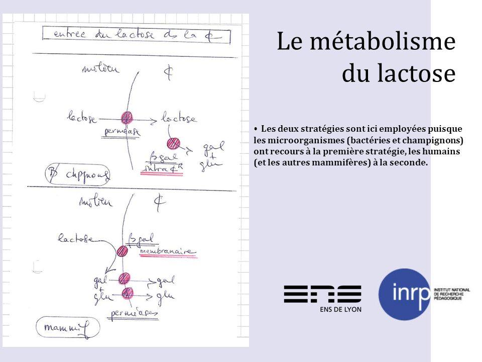 Le métabolisme du lactose Les deux stratégies sont ici employées puisque les microorganismes (bactéries et champignons) ont recours à la première stra